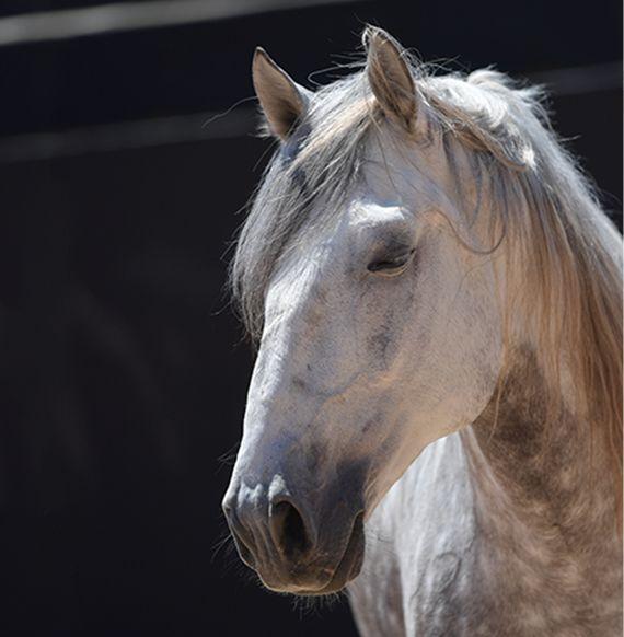 Kommunikation von Pferden - Augen   Anatomie
