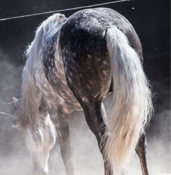 Kommunikation von Pferden - Schweif   Anatomie